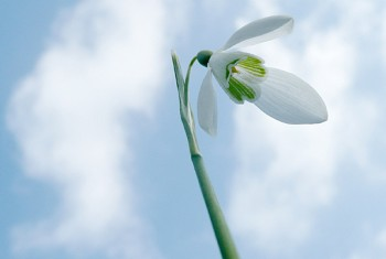 snowdrop_spring_charity